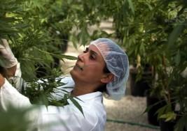 El dilema sobre la marihuana medicinal en la Esclerosis múltiple