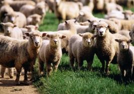 Niño británico que padece parálisis cerebral empieza a andar gracias a las ovejas