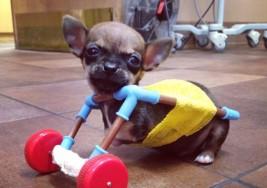 Turbo, el adorable chihuahua con ruedas que es sensación en las redes