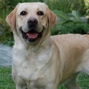 Nico, perro terapista para niño con autismo