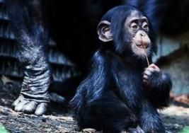 Conoce la increíble historia del primer chimpancé con Síndrome de Down que cuida su madre y hermana