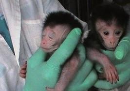 Diseñan el primer modelo de primates para investigar el autismo