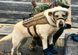 Frida, la perrita rescatista que ha salvado vidas tras el terremoto en México