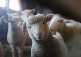La exposición a una toxina de las ovejas podría estar vinculada al desarrollo de esclerosis múltiple
