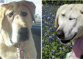 Tierno labrador nació con deformidad facial – Su cara cambia tanto que ahora luce totalmente distinto