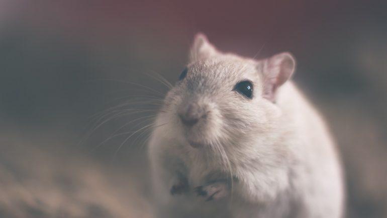 Las ratas sienten empatía igual que el humano