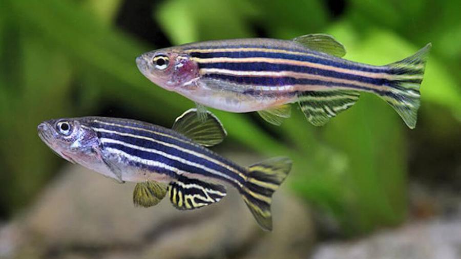 Los peces dan pistas sobre la sensibilidad al sonido en el autismo